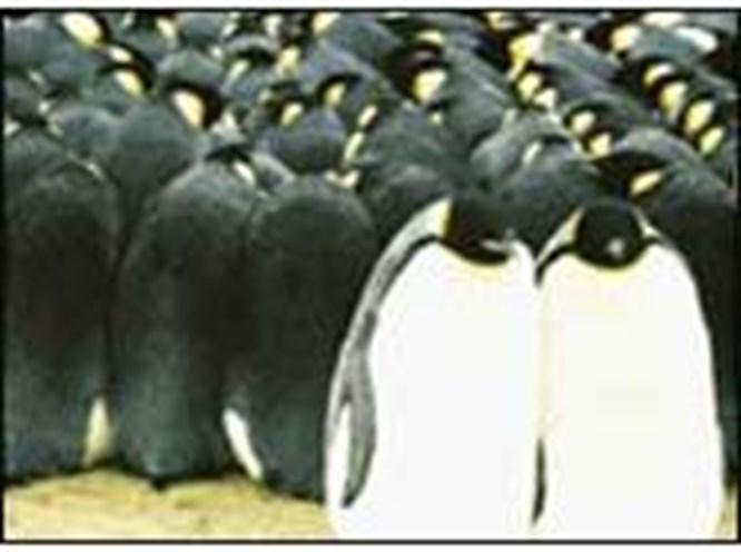 Amerika'yı şaşırtan penguenler